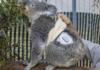 Quincy the Type 1 Diabetes Panda with Dexcom CGM at San Diego Zoo